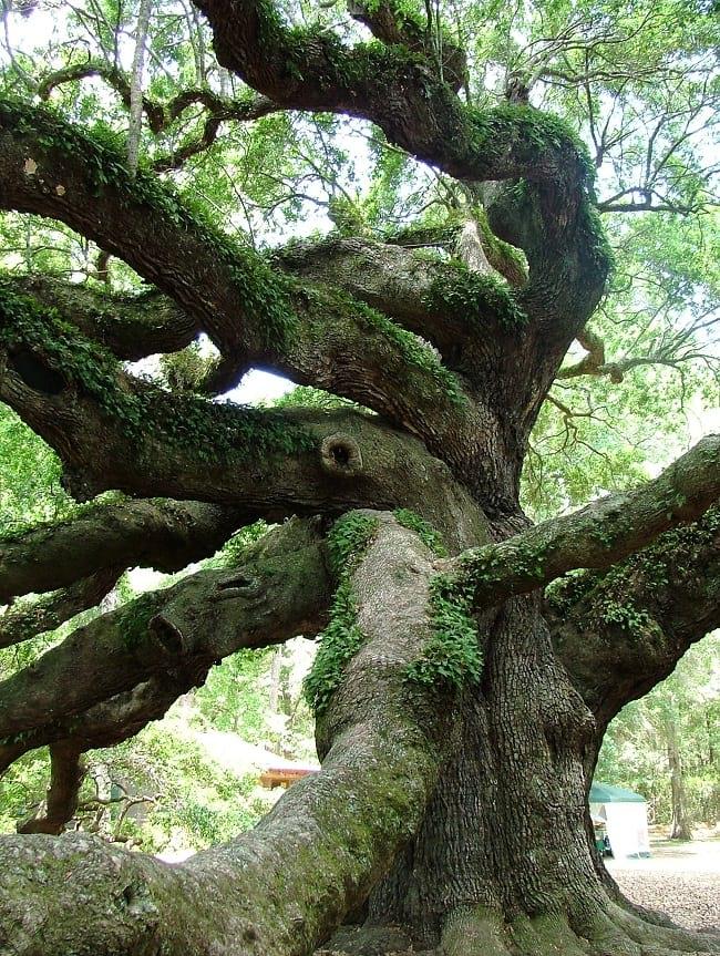 Ferns growing on the angel oak.