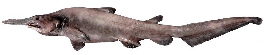 A juvenile goblin shark.