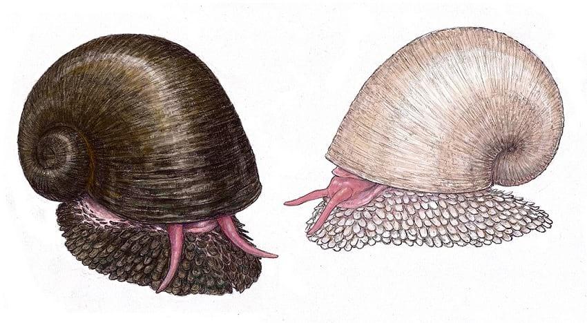 Scaly-foot gastropod