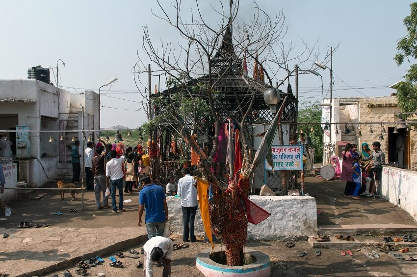 The tree that caused Om Banna's death.