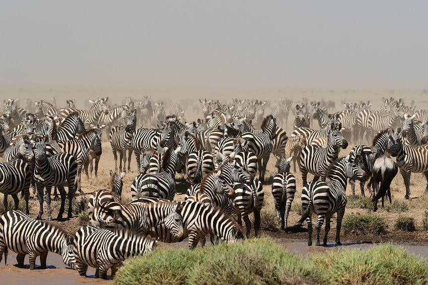 A herd of zebras.