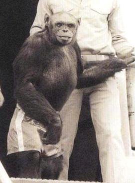 Oliver chimpanzee standing