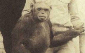 Oliver the chimpanzee.