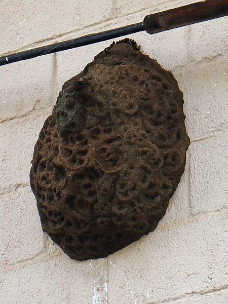 Trigona spinipes nest