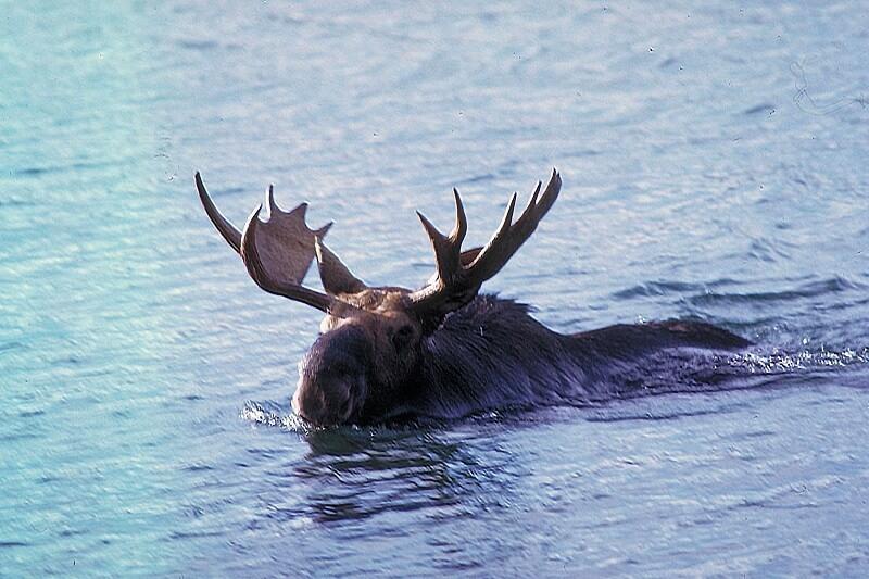 A moose swimming