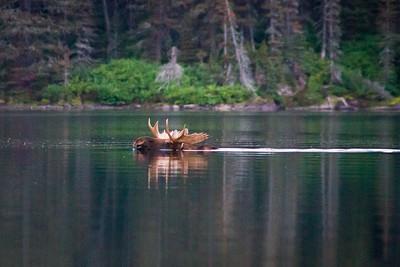 A bull moose swimming