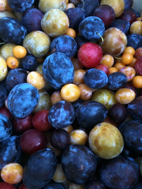 """Fruits harvested from the """"Tree of 40 fruit""""."""